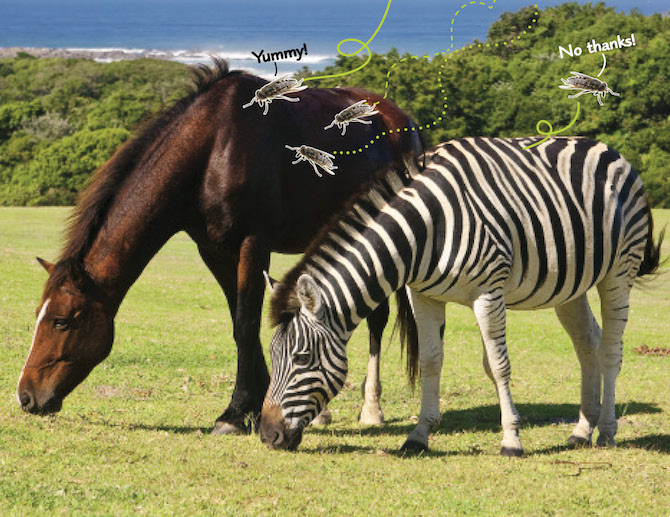 Why Do Zebras Have Stripes Life Science Article For Students Scholastic Science Spin 3 6 Magazine